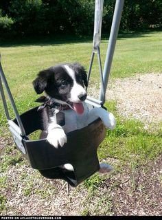 Border Collie Puppy , just hanging out on a swing