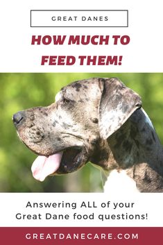 This article is the PERFECT guide to explaining exactly how much to feed your Great Dane. It also explains how many meals per day, and when to increase their food amounts as puppies. Black Labs, Black Labrador, English Springer Spaniel, English Mastiffs, Doberman Dogs, Dobermans, Black Lab Puppies, Corgi Puppies, Dog Grooming Business