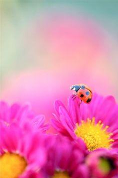 Ladybug on a pink flower