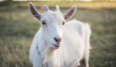 While it's a dirty job, testing your goat's poo is the most effective way to keep them dewormed while saving money on medications and vet visits.