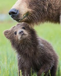 """Bear Cub:  """"Mom!  Are you going to teach me all about the 'bear' necessities of life?"""""""