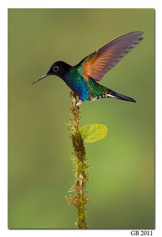 Velvet-Purple Coronet By Glenn Bartley