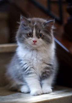.This is really close to what my cat 'FREEDOM' looked liked as a kitten. He was 32 pounds of Maine Coon and used to do push-ups on the fence. not using his back legs to help. Smart, loyal came when whistled for or called his name. Loved the boy.