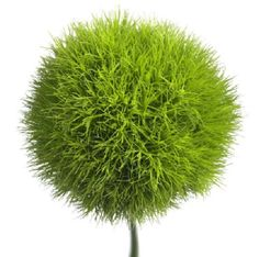 GreenTrick is a variety with striking added value. Just look at the very different shape. Over the last four years, Green Trick has already proven to stand out from the crowd. It is a very popular flower, both amongst traders as well as florists and it characterizes the Sparkz assortment.
