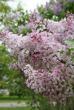 Lilacs, just realized...this is first time that I can remember not having a lilac tree, guess I will plant one this spring!