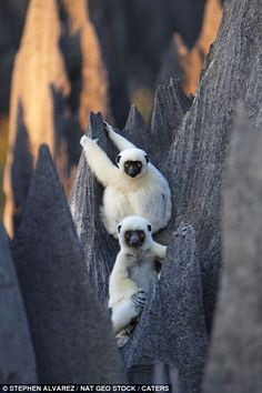 Hanging loose: Lemurs in the Grand Tsingy stone forest are often spotted leaping spectacularly from rock to rock, having made themselves at home in the dangerous environment