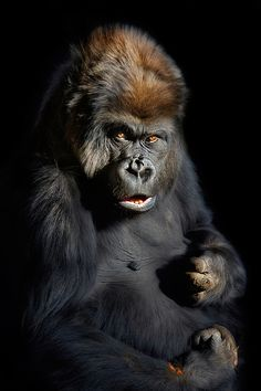 Gorilla by Paul Keates Primates, Mammals, Animals And Pets, Funny Animals, Cute Animals, Strange Animals, Gorilla Wallpaper, Gorillas In The Mist, Monkey See Monkey Do