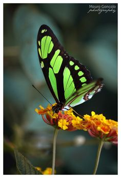Wings of Harmony by ~mauro-goncalo on deviantART / butterflies Flying Flowers, Butterflies Flying, Butterfly Kisses, Butterfly Flowers, Beautiful Bugs, Beautiful Butterflies, Butterfly Pictures, Flying Insects, Beautiful Creatures