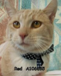 RED is an adoptable Tabby Cat in Antioch, CA. ...