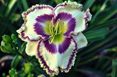 """Jump Up and Kiss Me - TET ((Sunday Sandals x Ultimate Fantasy) X Seedling) Sev. 30"""" scapes, 6 1/2 - 7"""" flowers, 4-5 way branching with 36 buds.What really sets this daylily off is its bright clean colors! A near white background with a light green overlay, a vibrant plum purple eye and a great double edge make this daylily very appealing to the eye. JUMP UP AND KISS ME'S best attribute would be its scape, having a high bud count with great branching; it easily passes to its progeny.  If you…"""