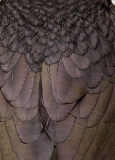 Raven feathers closeup