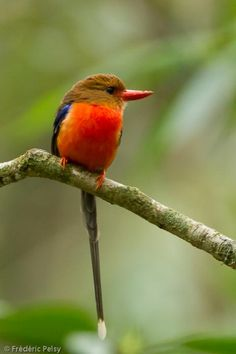 Brown-headed Paradise-Kingfisher (Tanysiptera danae) An adult bird perched