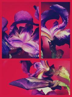 The beauty of purple iris