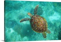 A Sea Turtle Swims Underwater; Apo Island, Negros Oriental, Philippines
