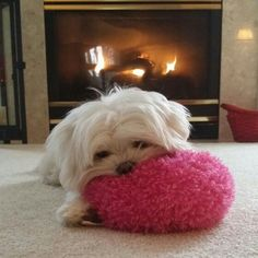 Piper my Maltese (original pinner) This reminds me of our Dixie so much. She had a ball like this and loved it so. #Maltese