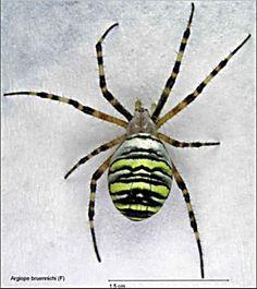 Deze exotische spin ga ik namaken van piepschuimen bolletjes en dan in mijn Spiderhouse bevestigen.