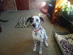 patch eye dalmatian
