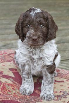 German wirehair pointer puppy...too stinkin' cute!