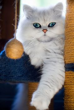 Adorable White Cat