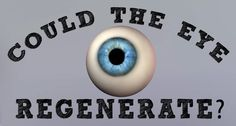 Could a blind eye regenerate?