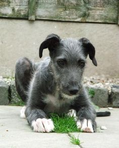 Scottish deerhound puppy - looks very like my Daisy girl, when we first brought her home.  <3