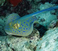 The Blue-Spotted Stingray (Taeniura lymma), Red Sea., Egypt, Africa.