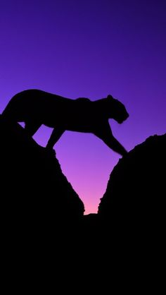 Purple and Black - Tiger Silhouette Beautiful Cats, Animals Beautiful, Cute Animals, Silhouettes, Big Cats, Cats And Kittens, African Leopard, Gato Grande, Mountain Lion