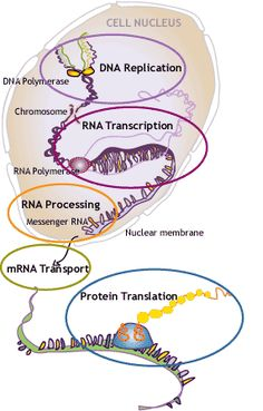 Simply put, the cell has DNA-RNA-Protein. Each very complex but work together. Which came first? What are the odds of ending up together in one cell? The body is believed to contain about 100 trillion cells. Chance? or Design? Detailed info on how the amazing design can be found at http://www.ncbi.nlm.nih.gov/pubmed/17668892