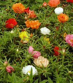 Portulaca (or Moss Rose) is a nice ground cover flower. Every flower on a single plant is a different color. Flower Beds, My Flower, Amazing Flowers, Beautiful Flowers, Deer Resistant Plants, Cactus Y Suculentas, Gnome Garden, My Secret Garden, From The Ground Up