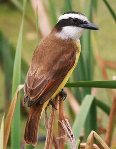 Great Kiskadee(Pitangus sulphuratus). The Great Kiskadee is a large and strikingly colored flycatcher that inhabits lower Texas,  much of Central and South America. It has a black crown with a yellow coronal patch and a broad white supercilium that extends from its forehead to its nape.  The kiskadee's olive-brown wings are set off by cinnamon wing coverts and bright yellow underparts.  Great Kiskadees reside in a variety of habitats from forest edges to grasslands to busy residential areas.