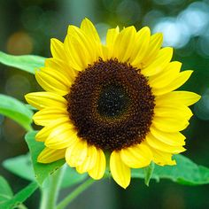Sunflower  Latin name: Helianthus annuus and cvs.