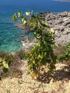 young vineyards of Plavac Mali at Postup Peljesac, Croatia