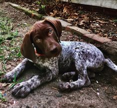gsp puppies names . gsp puppies for sale . Gsp Puppies, Pointer Puppies, Pointer Dog, Cute Puppies, Cute Dogs, German Pointer Puppy, English Pointer, Best Dogs For Families, Family Dogs