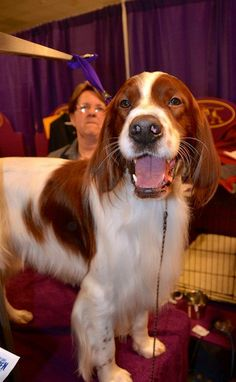 Irish Red & White Setter   Delaneys Dad SEAN at Westminster.