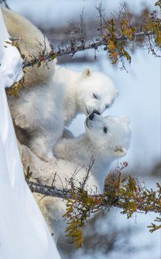 Save The Polar Bears, Cute Polar Bear, Cute Bears, Super Cute Animals, Cute Little Animals, Cute Funny Animals, Wild Animals Pictures, Cute Animal Pictures, Rare Animals