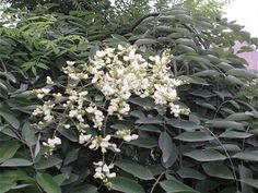 """Sophora japonica is native to central and northern China and Korea, and though known commonly as """"Japanese pagoda tree"""", it is actually not indigenous to Japan. Rutin has """"vitamin P-like"""" properties, and the flower buds been the object of much research in the treatment of conditions characterized by increased capillary permeability and fragility."""