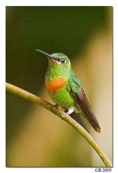 Hummingbirds - Nature Animals Birds Hummingbird GOULD's JEWELFRONT