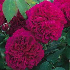 Rosen online kaufen | William Shakespeare 2000 | rosenpark-draeger.de