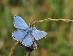 "Adonis Blue Butterfly ""Polyommatus bellargus"""