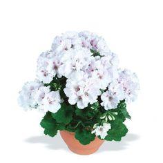 Как вырастить шикарную герань / Домоседы Indoor Flowers, Indoor Plants, Tiny Garden Ideas, Small Farm, House Plants, Gardening Tips, Peonies, Landscape Design, Cactus