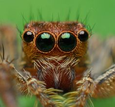 Jumping Spider - so fascinating!