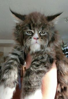 Isn't this guy cool!~ He some type of Norwegian Forest Cat or Viking Cat smile emoticon Some sort of Maine Coon kind of cat ~