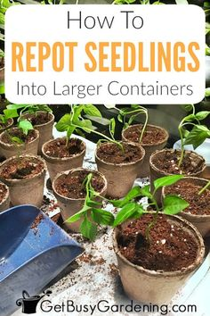 Repotting seedlings helps you grow larger plants for your garden. Learn when to transplant seedlings to bigger pots, and how to pot them up step-by-step. Planting Vegetables, Organic Vegetables, Vegetable Gardening, Growing Vegetables, Growing Flowers, Growing Plants, Growing Seeds, Gardening For Beginners, Gardening Tips