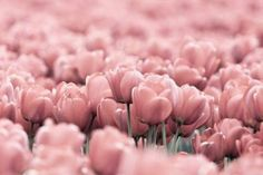 Fill your Room with Pink Flowers.