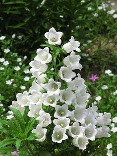 Campanula fresh cut flowers