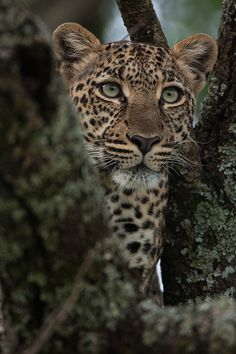 """SPEAK OUT!  Help wildlife & environmental activists in India STOP the """"witch hunt"""" against Leopards whose sole crime is seeking water to quench their thirst!  PLZ Sign & Share!"""