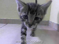 TO BE DESTROYED 9/16/14 ** BABY ALERT! ONLY 5 WEEKS OLD! Friendly little kitten that allows handling ** Manhattan Center  My name is SUNNY. My Animal ID # is A1013873. I am a male brn tabby domestic sh mix. The shelter thinks I am about 5 WEEKS old.  I came in the shelter as a STRAY on 09/12/2014 from NY 11417