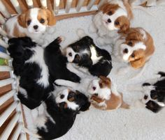 baby cavalier king charles spaniel - Google Search