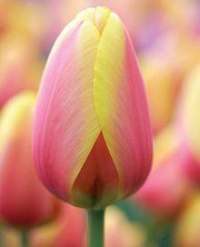 World Peace Tulip