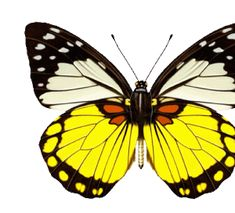 animated butterfly gif
